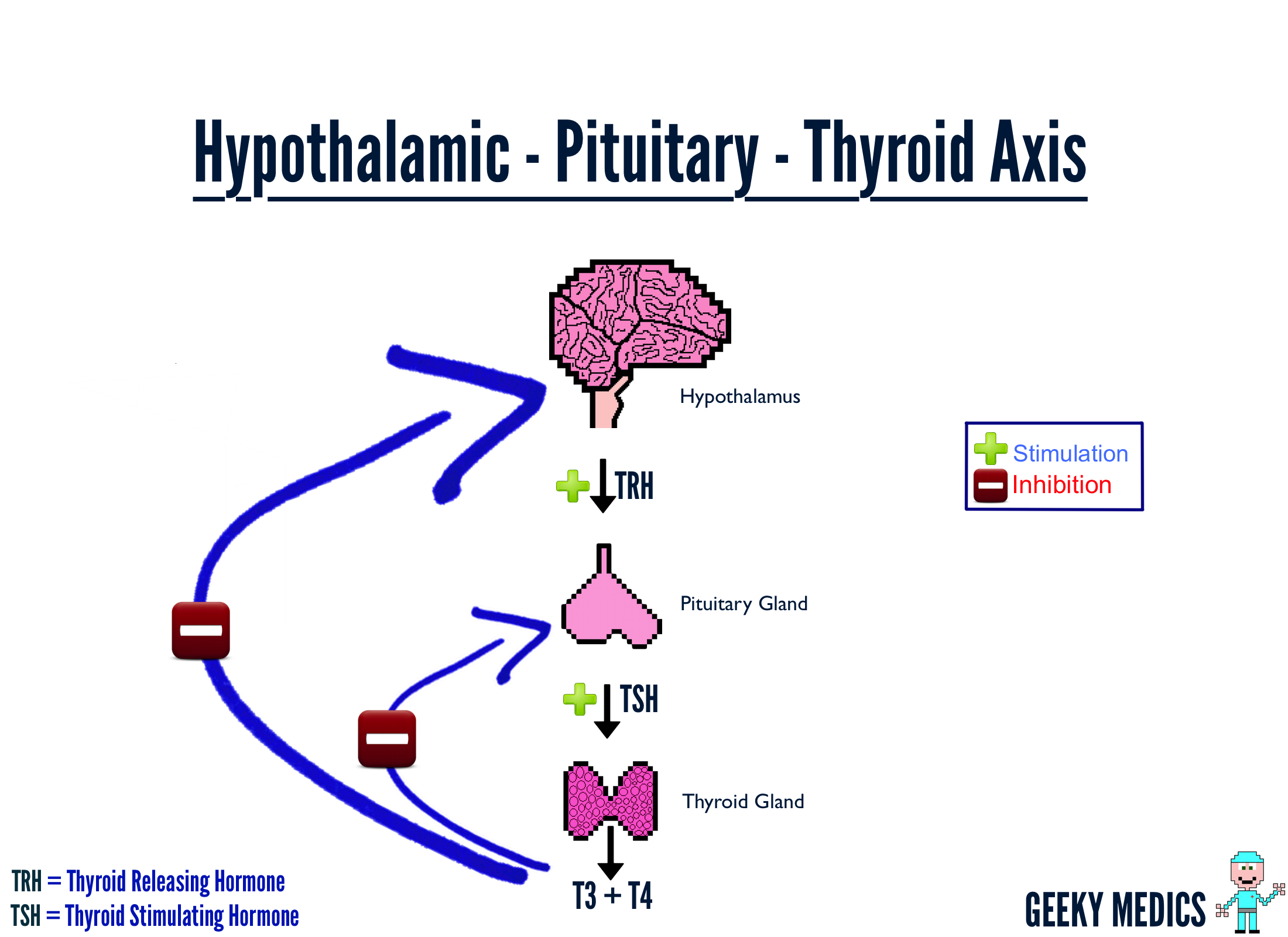 Hashimoto   s thyroiditis is the most common cause of hypothyroidismHypothalamic Dysfunction