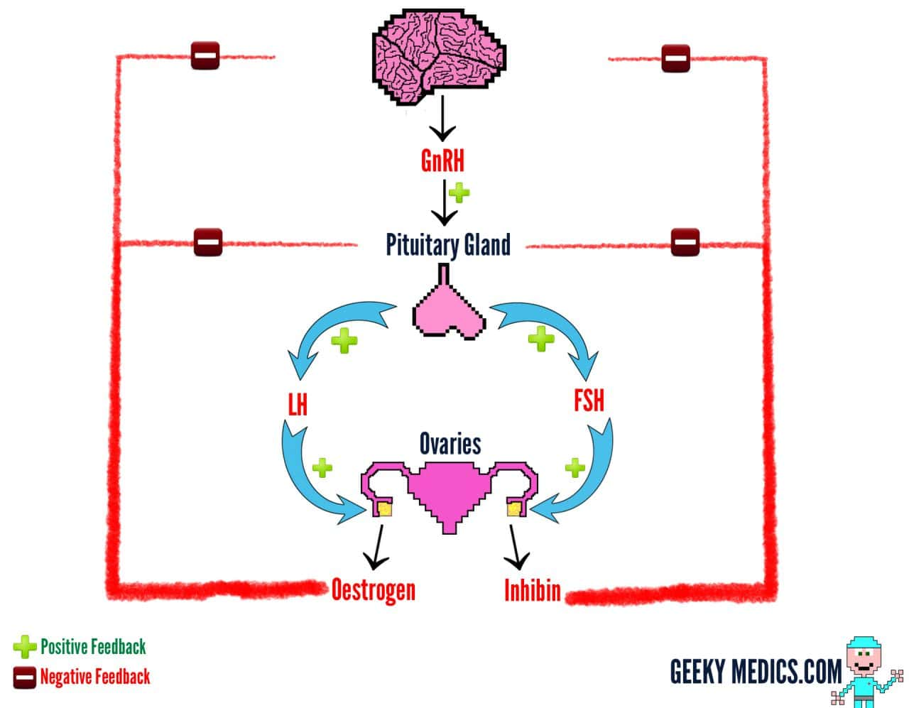 The menstrual cycle geeky medics how is it controlled ccuart Image collections